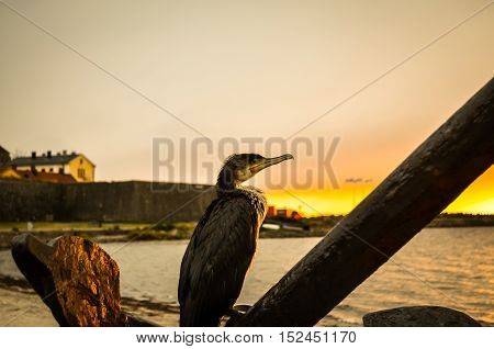great cormorant bird sitting on anchor during sunset at coast