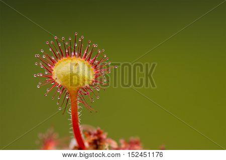 Closeup of single sundew plant in bog