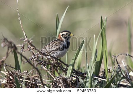 Lapland Bunting female sitting on a branch in the tundra