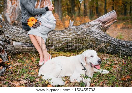 Autumn portrait of white retriever groun-up lying in yellow leaves.