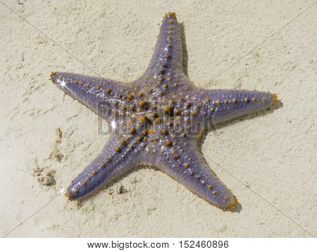Starfish in shallow water Zanzibar Indian ocean