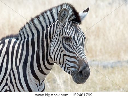 Close up of a zebra head and mane in Hwange