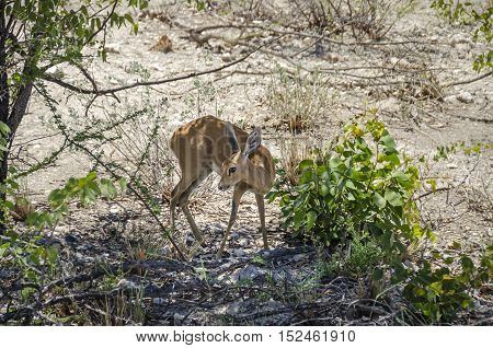Female steenbok (Raphicerus campestris) a common small antelope also known as the steinbuck or steinbok standing in a shade of shrubbery in Etosha Pan Namibia.