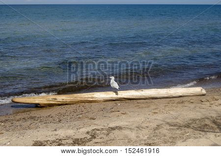 Seagull sitting on driftwood along Lake Superior in Silver City Michigan