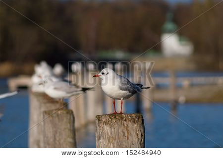 An old seagull on a wooden pile