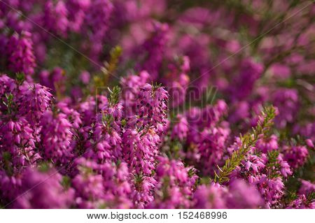 Violet flowers on a sunny day. Violet garden flowers