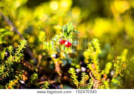 red cranberrys growing in autumnal forest landscape