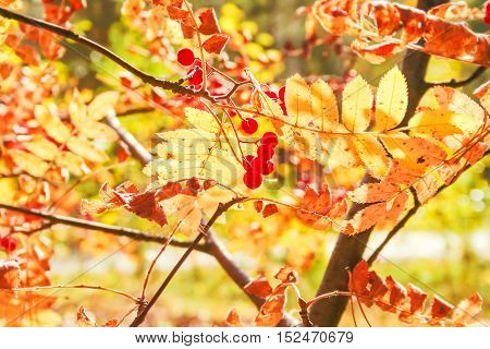 Rowan branch with yellow leaves and red berries in the rays of autumn sun in the forest close up. Photo backlit toned. Selective focus