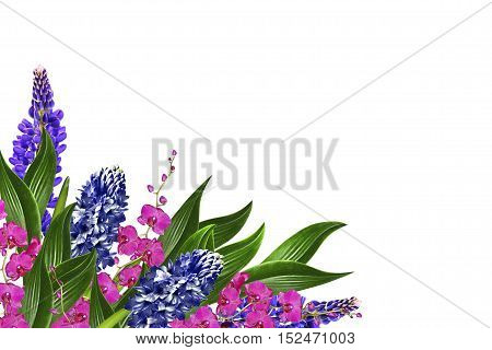 Blue lupines beautiful flowers on a white background. orchid