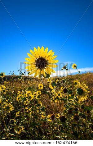 Large daisy flower field with blue sky background