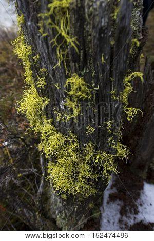 close up of yellow lichen on a rotting tree stump