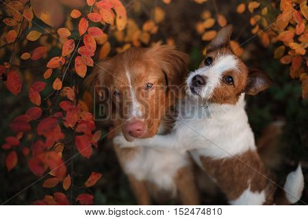 Autumn Mood. Dog Jack Russell Terrier And Nova Scotia Duck Tolling Retriever Dog With Leaves