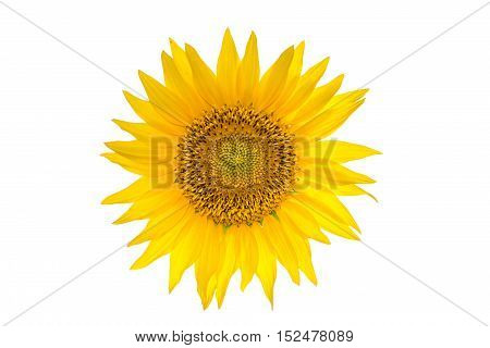 Big sunflower isolated on the white background