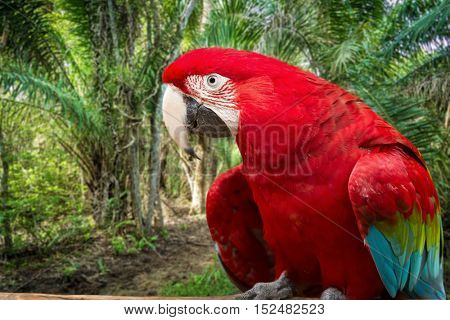 Scarlet Macaw bird on the nature