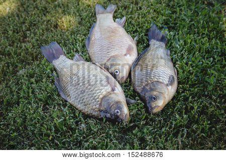 Crucian carp fish swimming in the pond