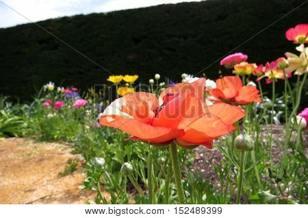 Close up of an orange poppy flower in a spring garden of colourful colorful poppies