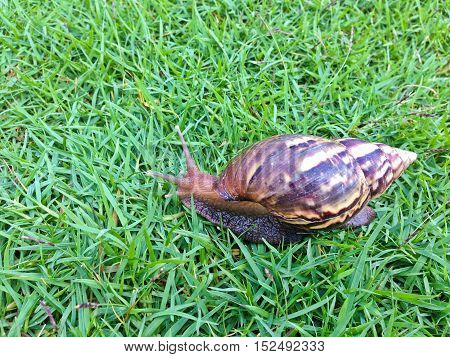 brown long big snail round shell with stripes and with long horns crawling on the gass