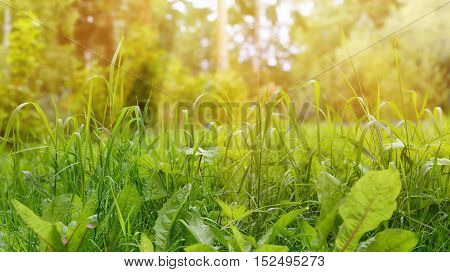 Green Grass Border as Natural Background at Sunny Summer Day Soft Focus