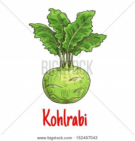 Kohlrabi vegetable with fresh leaves sketch. Green turnip cabbage isolated icon for healthy vegetarian food, diet nutrition and agriculture themes design