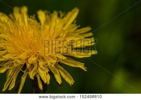 Tiny bug on a dandelion close up