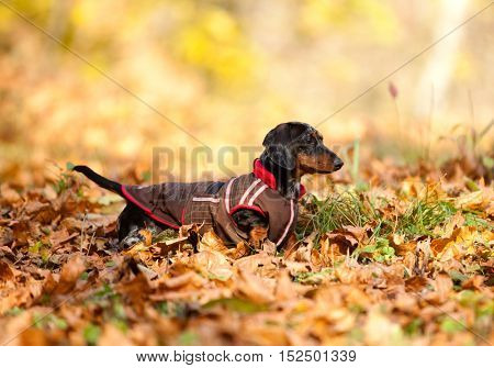 Dachshund dog in overalls