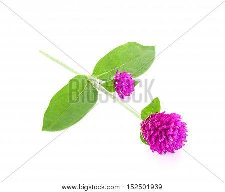globe amaranth beauty flower isolated on white