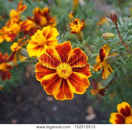 Red and orange French Marigold flower .
