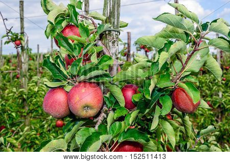 Delicious red apples riping at the tree in a Dutch orchard of low espaliers. It is autumn and picking begins.