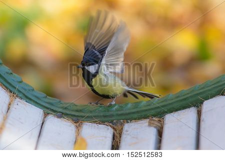 Tit on a bench in autumn closeup