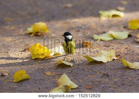 tit on the ground with fallen autumn leaves