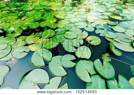 Duckweed on the surface of a pond.