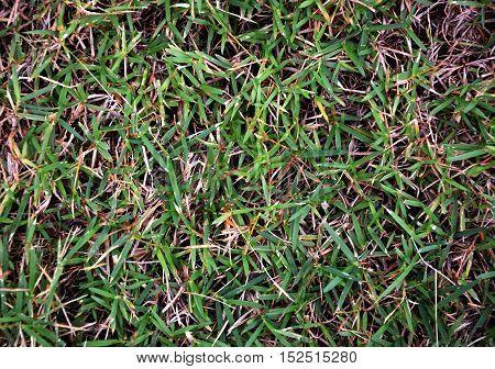 green grass in the garden ground texture