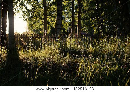 the nature of the lawn and birch trees on a country house at sunset