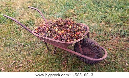 Heap of rotten apples loaded in wheelbarrow.