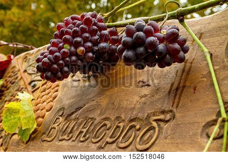 Bobovische Ukraine - 2016 October 16: Grapes on a counter with winemakers during etnofestival