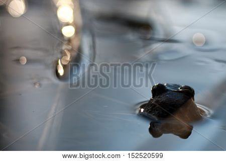 frog head back in water waiting for bug for hunt and eat