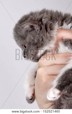 Curly little gray kitten breed Selkirk Rex in a human hand shot in Studio on gray background