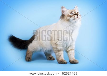 young beautiful cat breed Neva masquerade on a blue background in the Studio a good pet for the family
