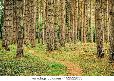 Narrow footpath through pine tree forest in autumn october afternoon tall vertical woods as beautiful nature scenery background
