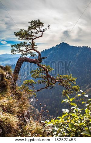 Sokolica - view of the more than 500 year old pine dwarf symbol of Pieniny Mountains Poland.