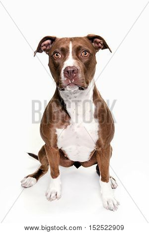 pitt bull dog portrait front side sitting in white background