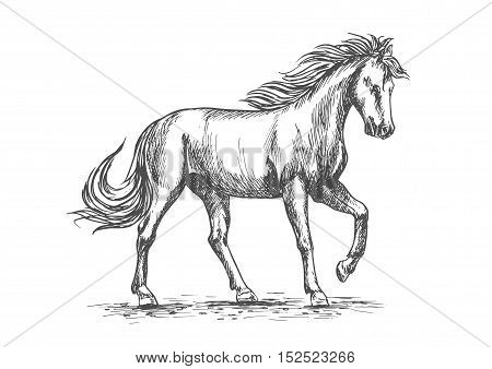 Horse isolated sketch with purebred arabian stallion horse pawing leg in paddock. Equestrian sport, horse racing symbol or horse breeding farm design