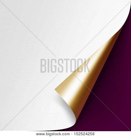 Vector Curled Golden corner of White paper with shadow Mock up Close up Isolated on Vinous Background