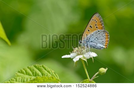 Common Blue (Polyommatus icarus) butterfly on a flower