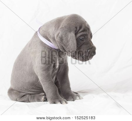 Purebred Great Dane puppy on white waiting patiently