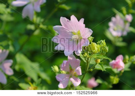 Wild pink mallow on the green meadow
