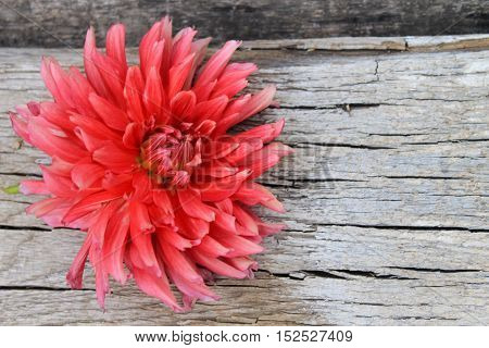 Red dahlia flower on the wooden background