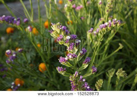 Kermek notched or Kermek vyemchatolistny (Limónium sinuátum) - herbaceous plant species of the genus Kermek (Limonium) family plumbaginaceae (Plumbaginaceae)