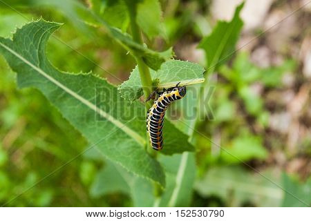 Beautiful Black And Yellow Caterpillar Creeps On A Green Branch.