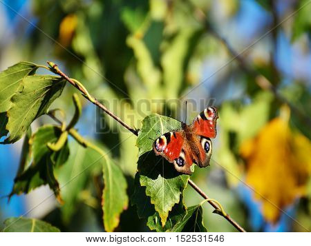 European Peacock butterfly (Inachis io) on autumn leaves.